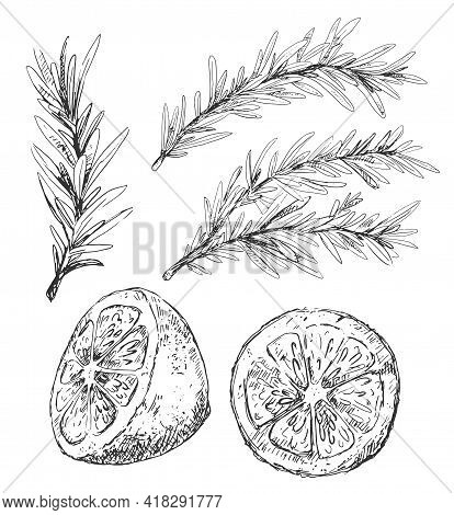 Rosemary Various Branches And Cut Lemon Illustratioon In Vintage Style