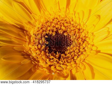 Close-up Images Of The Heart Of An Yellow Gerber Daisy In The Sun Light