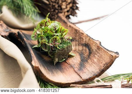 Micro-village. Sorrel On A Natural Substrate. Composition Of Micro Greenery And Fir Branches