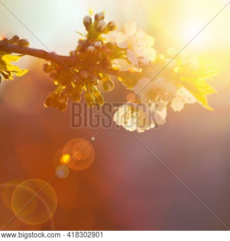 Defocused Misty Natural Background .cherry Blossoms And Sun Glare. Beautiful Garden. Abstract Blurre