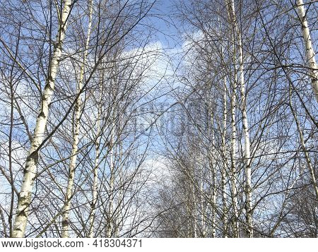 Birch Grove In Early Spring Against The Blue Sky