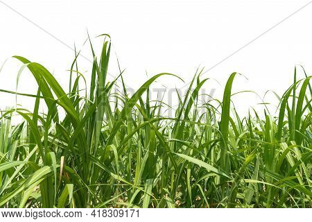 Fresh Green Linear Leaf Of Sugar Cane Isolated On White Background, Dicut With Clipping Path And Cop