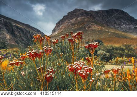 Beautiful Red Flowers of Coniferous Origin Against the Backdrop of Majestic Mountains. Harold Porter National Botanical Garden. South Africa.