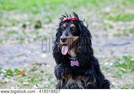 Adorable black Cocker Spaniel outside  wearing a collar wiht a pink bone