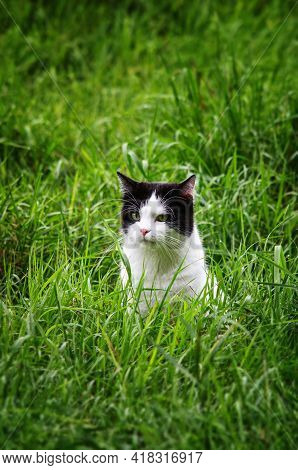 Portrait Of A Cat In The Green Grass. Black And White Cat Portrait. Cat Outside In The Garden.