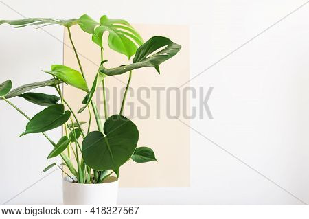 Monstera Or Swiss Cheese Plant In A White Modern Pot On A White And Beige Background. Monstera House