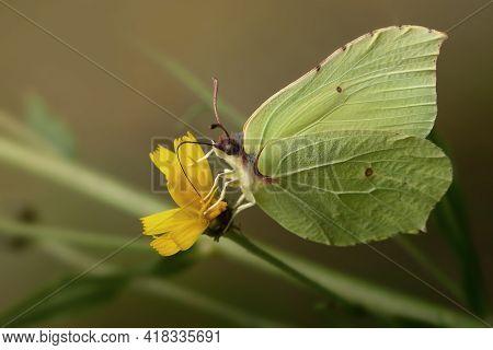 Light Greenish Brimstone Buterfly And Yellow Flower