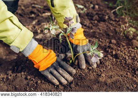 Planting Hellebores Flowers In Spring Garden. Gardener Covers Plant With Soil Wearing Gloves Outdoor