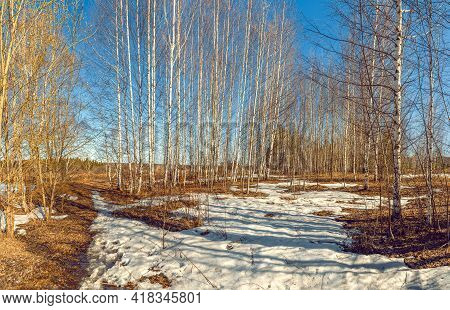 Spring Birch Forest. A Walk In The Park In The Spring. Spring Sunny Time. The Last Snow In The Fores