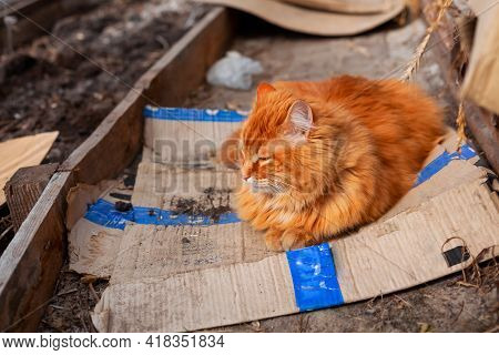 Street Ginger Cat Lying Down On Dirty Cardboard Outdoors And Sleeping.