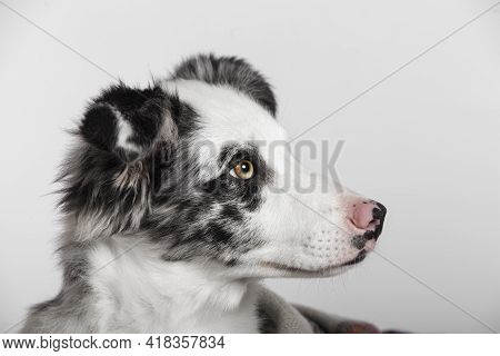 Close Up Of The Eye Of A Border Collie Puppy. Lovely Border Collie Puppy