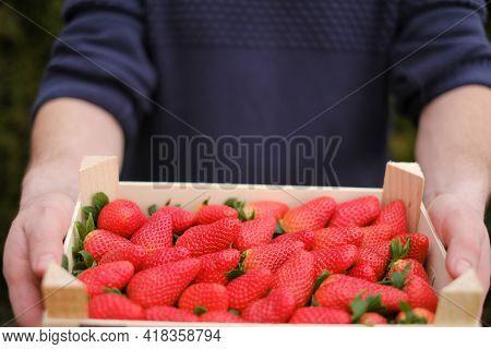 Strawberry Season. Organic Pure Farmed Berries. Strawberry Box In Male Hands On A Blurred Green Gard