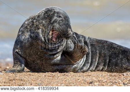 Funny Animal Meme Image. Cute Friendly Happy Seal With A Smile And Wave Saying Hi To The Camera. Wil