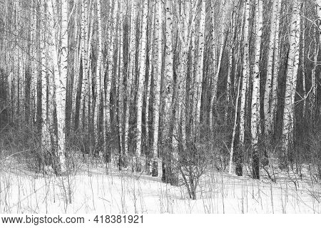 Young Birches With Black And White Birch Bark In Winter In Birch Grove Against Background Of Other B