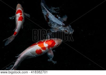 Detail Of Colorful Koi Fishs Or Koi Carp Swimming Inside The Fish Pond At Sunny Day, Japanese Fish S