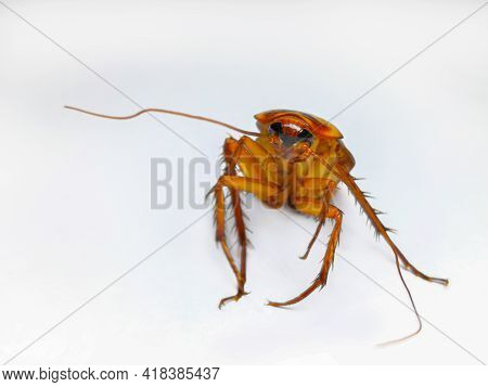 Action Image Of Cockroaches, Cockroaches Isolated On White Background. High-resolution Cockroach Ima
