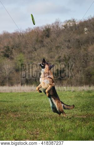 Games And Sports With The Dog In Park In Fresh Air. An Active, Athletic And Energetic Shepherd. Germ