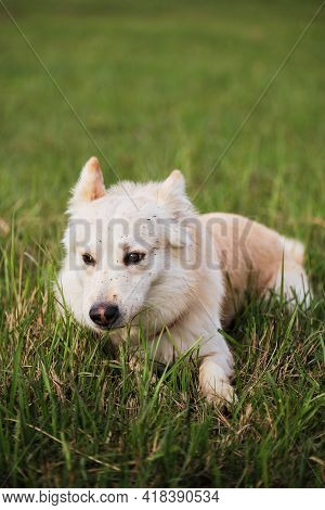 A Half Breed White Swiss Shepherd Dog Lies In Green Grass And Enjoys Life. A Happy Domestic Dog With