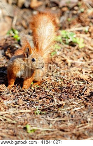 A Cautious Orange Squirrel Against The Backdrop Of A Brown Forest Litter Of Dead Fallen Leaves, Illu