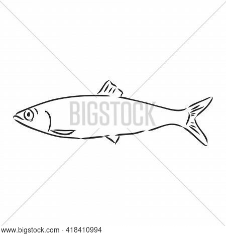 Pilchard. Ink Sketch Of Sardine. Small Herring. Hand Drawn Vector Illustration Of Fish Isolated On W