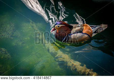 One Adult Male Mandarin Duck. Aix Galericulata. Swimming In Lake Geneva, Switzerland. Beauty In Natu