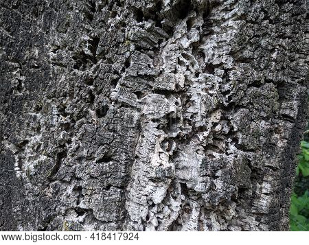 Bark Cork Oak Close Up In Roman Park