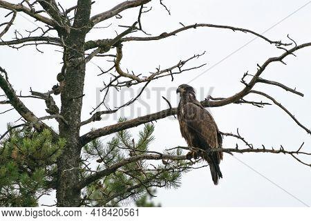 Golden Eagle Sitting On A Tree On A Rainy Day. Bird Of Prey. Aquila Chrysaetos. Wildlife Of Jasper N