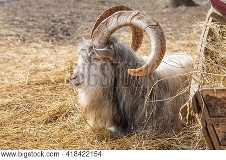 Adult Goat Saanen Breed With Big Horns On The Farm, In The Hay. Livestock, Cattle.