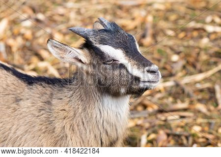 Young Goat Of The Saanen Breed With Small Horns On The Farm, In The Hay. Livestock, Cattle.