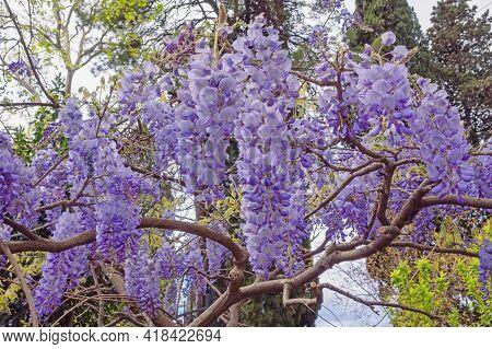Springtime, Spring Flowers. Beautiful Blooming Wisteria Vine In Park. Montenegro, Tivat