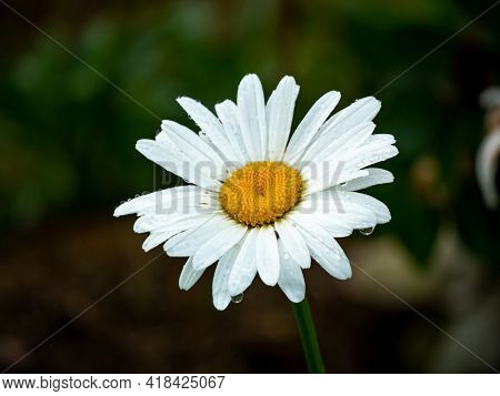 Oxeye Daisy, Dog Daisy Or Marguerite (leucanthemum Vulgare) Is The Beautiful And Simple Flower With