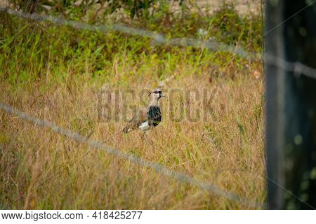 The Southern Lapwing (vanellus Chilensis) Bird On The Meadow Behind To The Fence In Guatape, Colombi