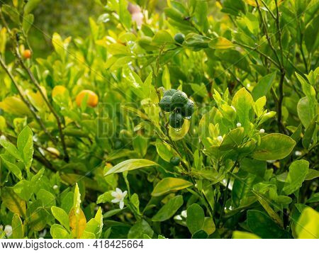 The Lemon (citrus Limon), The Plant With Some Fruits Hanging In The Garden