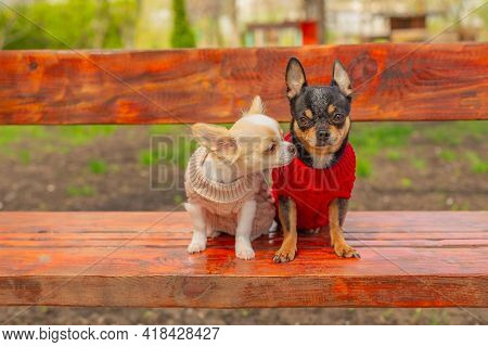 Dogs In Spring Clothes. Two Little Chihuahua Dogs On Bench. Cute Domestic Pets Outdoors. Dogs