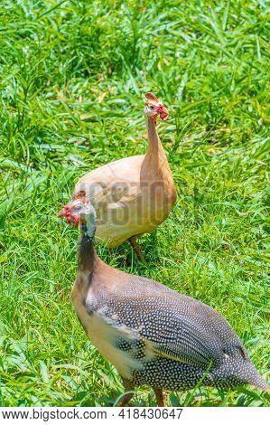 Two Helmeted Guineafowl Birds On The Green Grass. Locally Called Of Galinha Da Angola, Brazilian Bir