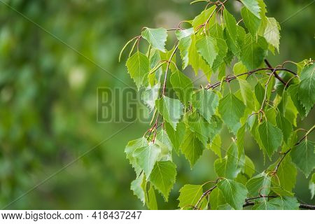 Birch Branches With Fresh Green Leaves And Seeds. Birch Tree Branch, Betula Pendula.