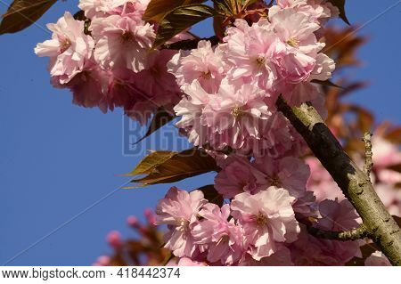 Japanese Cherry Blossoms The Nice Pink Spring Flower