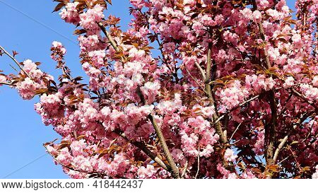 Ja Panese Cherry The Very Nice Pink Spring Flower Close Up