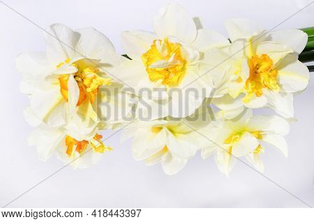 Narcissus The Very Nice Spring Flowers On The Mirror