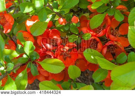Flowering Quince In Spring Garden On A Sunny Day, Selective Focus