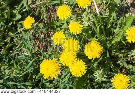 Yellow Dandelions On Green Grass On Summer Sunny Day, Selective Focus