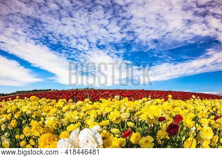 Sea of flowers. Israel. Wonderful trip for spring beauty. Lush yellow and red garden buttercups ranunculus in a kibbutz field with a magnificent carpet.