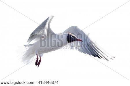photo of black-headed gull isolated on white background