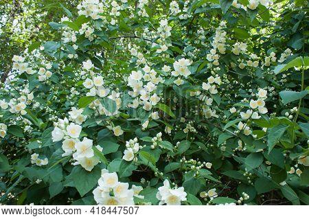 Blooming Chubushnik Mock Orange (philadelphus), Shrub Of The Family Of Hydrangea (hydrangeaceae), Se