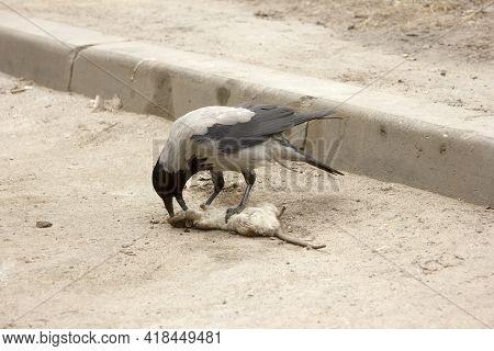 The Bird Is Eating A Dead Gray Rat. A Crow Pecks The Head Of A Rodent. Corvus Corone Cornix. Rattus