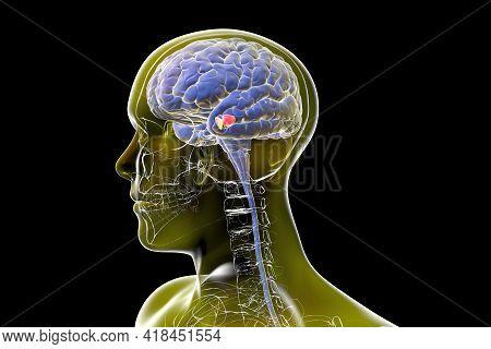 Black Substance Of The Midbrain, 3d Illustration. Black Substance Regulates Movement And Reward, Its