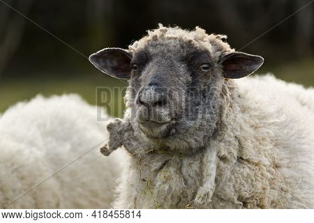 Sheep Portrait. Unshorn Sheep In A Spring Field. Sheep Looking To Camera, Farming, Free Grazing Conc
