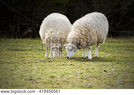 Sheep Eating Fresh Grass. Unshorn Sheep In A Spring Field. Sheep Looking To Camera, Farming, Free Gr