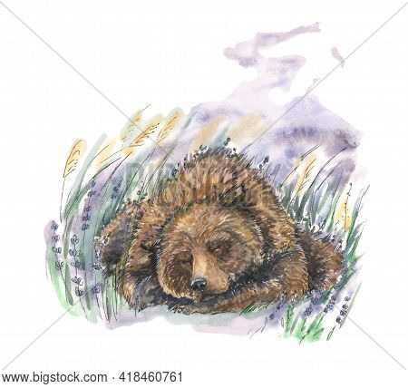 A Big Brown Bear Sleeps In A Lavender Field And Has Good Lilac Lavender Dreams  In Watercolors