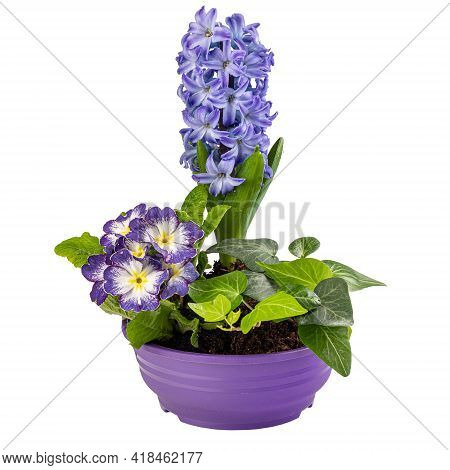First Spring Flowers, Hyacinths, Primroses And Ivy In Pot Isolated On White Background